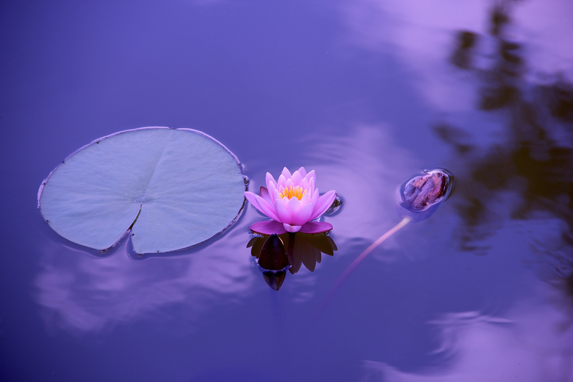 lotus flower on a pond